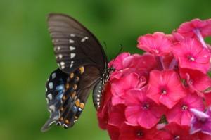 butterfly_phlox