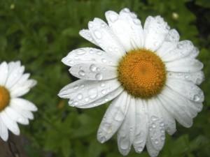 daisy_raindrops