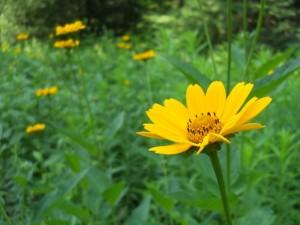 ox_eye_sunflower