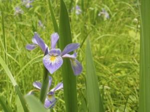 wild_iris