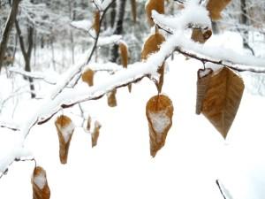 winterbeechleaves1