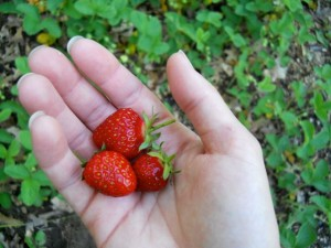 first_strawberries