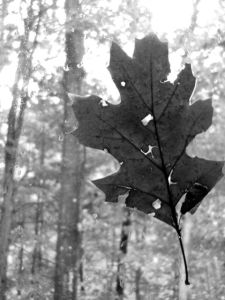 leaf_on_window_bw