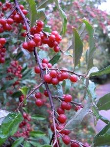 silverberries