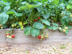 raised_bed_berries